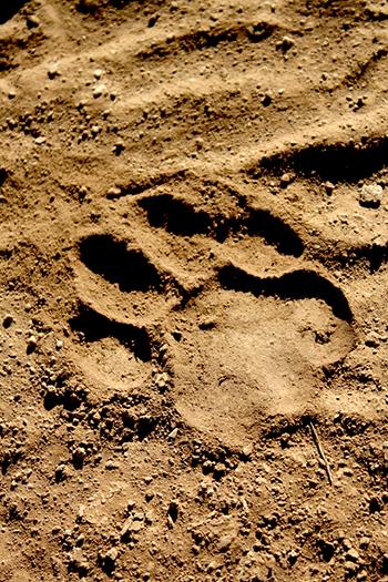 Löwenspuren © IFAW/E. Wamba