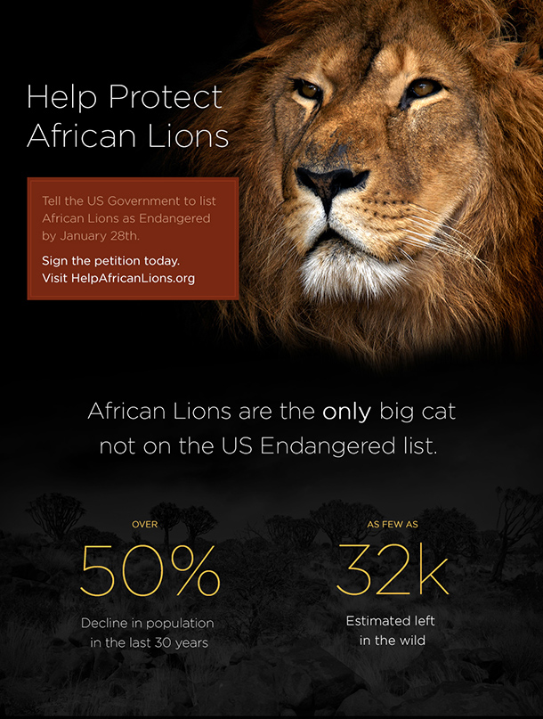 Click below to tell US Fish and Wildlife you want to see the African lion protected.