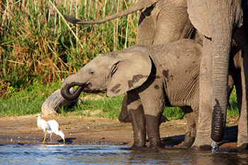 An elephant family group on the banks of Liwonde's Shire River drinking water.