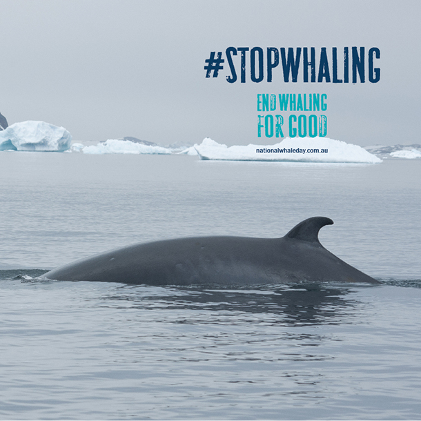 There are so many reasons to end whaling for good.