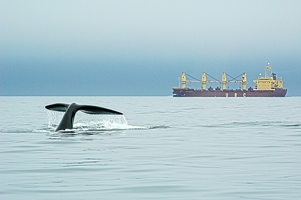 Ship strikes are the number one cause of deaths for the North Atlantic right whale.