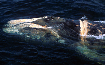 A gill net entanglement wound on a North Atlantic right whale in the Bay of Fundy. The wound was fatal.