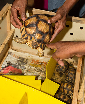 These critically endangered tortoises, the radiated spider and angulated tortoises were illegally removed from their natural habitat and were en route for sale in public markets in China when they were intercepted by customs officials at the Kuala Lumpur International Airport in Malaysia. These rare tortoises sell for thousands of dollars each as exotic pets, luckily these were returned to their home country of Madagascar.