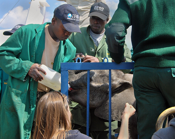 """Ntubya"" being fed in her travel crate as she arrives at Lilayi Elephant Nursery."