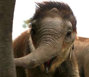 Little Nunai the elephant at the IFAW CWRC in India.