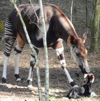 Okapis are mysterious and rare dwellers of the forest only found in the DRC.