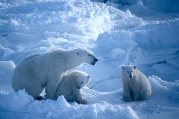 The White House's new carbon rules will help protect species like polar bears from the devastating effects of climate change. © IFAW/N. Ovsyanikov (Click here to help protect polar bears)