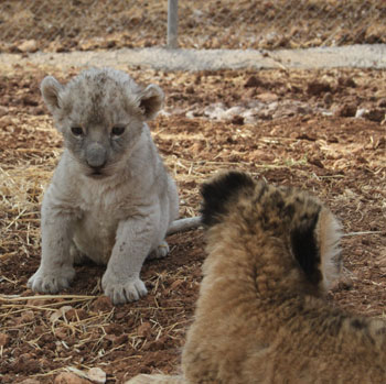 The two lions were confiscated by Jordan's Environmental Police Department. Credit: Princess Alia Foundation