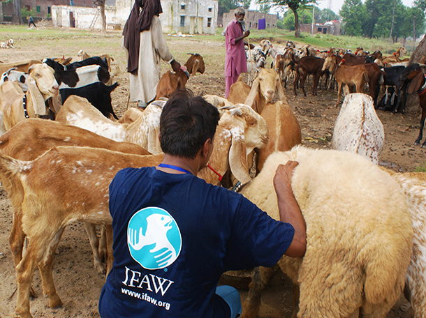 Our goal is to help over 2,000 sheep, goats, cows, and buffalo with a feeding program where families and government wildlife officials will receive nutritional feed and clean water to distribute over a 30 day period.