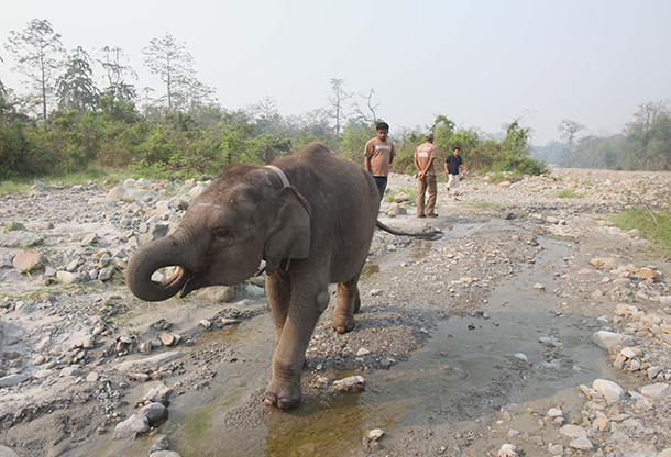 Phillip Dev, the adorable baby jumbo of the IFAW Wildlife Rescue Center elephant family arrived to Manas National Park today and rejoined Rani and Tora.