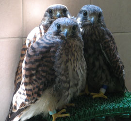 Healthy fledgling kestrels at BRRC.