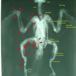 Radiograph of the kestrel in this story. Red arrows point to fractures in the bones of the right side of the body. Left side is labeled for orientation. The long bones of the wings and legs are bent due to malnutrition (rickets). The right side of the upper chest is collapsed. The bird is starved, with very little muscle on the bones.