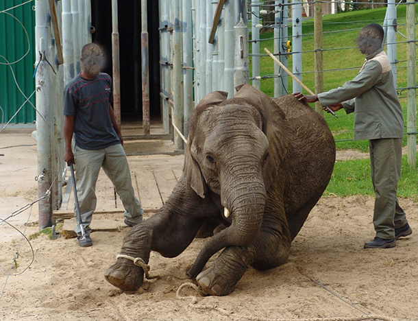 "Abused and tormented. Cruelty charges have been laid in South Africa after pictures of elephant calves being ""trained"" for the safari industry came to light. Picture courtesy National Council of SPCAs."