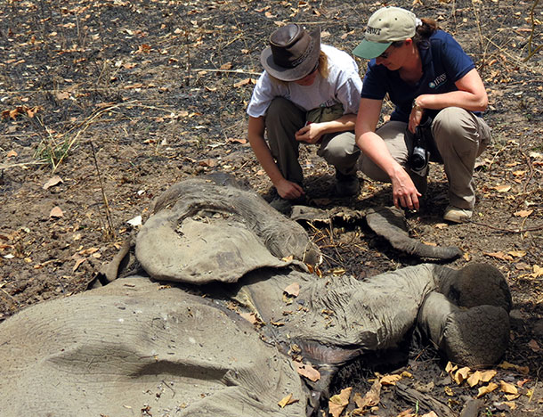Elephant expert vet, Sharon Redrobe, left,  and IFAW's Celine Sissler-Bienvenu, right, examine a poached elephant in Bouba Ndjida National Park, Cameroon. © IFAW/ J. Landry