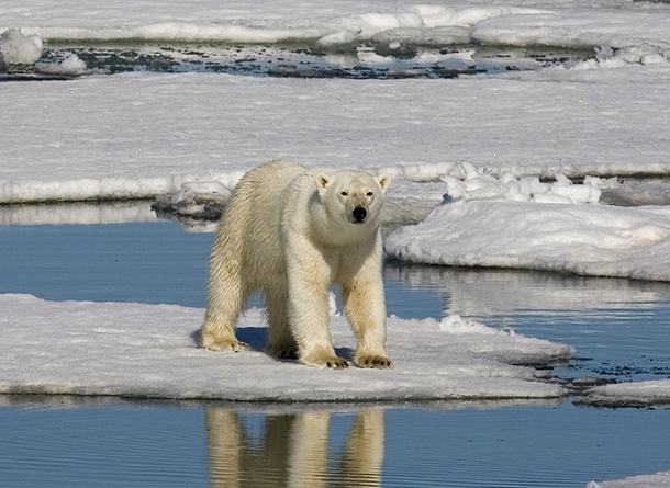 Polar bear on Spitsbergen island, Svalbard archipelago, Norway.