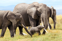 Qumquat and her newborn daughter in October 2011, a year before she was gunned down by ivory poachers