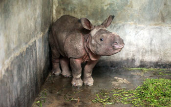 Rescued rhino at CWRC 2nd Oct 2012.