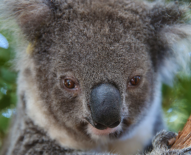 Richardson Jane at the koala hospital.