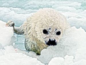 New Duke University/IFAW study shows HARP SEALS ON THIN ICE