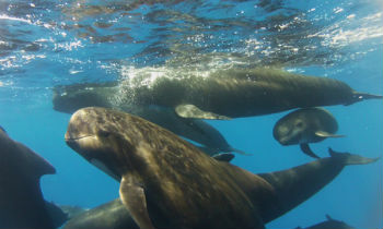 Bow-riding pilot whales tag along with IFAW's research vessel Song of the Whale.