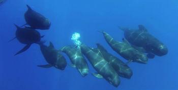 Un groupe de baleines pilotes pleines d'entrain escorte le Song of the Whale d'IFAW au large de la ville côtière d'Almería, en Espagne