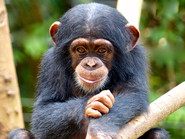 Sarah, a resident at TCS, was confiscated when she was offered for sale at a mining company. © Tacugama Chimpanzee Sanctuary