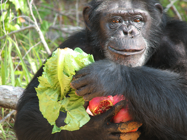 Sara feasts on some veggies.  c. Chimp Haven