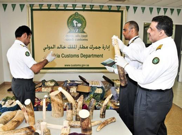 Customs officers at Saudi Araba's King Khalid International Airport foiled a recent smuggling operation, intercepting 588 pieces of ivory found in 16 suitcases.