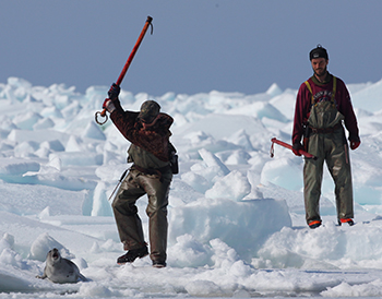 Canadian sealers on the ice using hakapiks to club a harp seal to death.