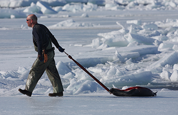IFAW has never campaigned against subsistence hunting of seals by Inuit, a hunt Mr. Bourdain has completely confused with the commercial hunting of seals for their fur. c. IFAW