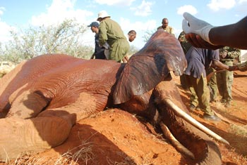 Seconds after the elephant goes down, the KWS capture team and another vet rush to it to secure the trunk, check its temperature and breathing.