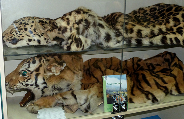 Despite high profile release of Amur tigers, the endangered animal skin and hide trade continues, like these confiscated tiger and leopard skins displayed at the Institute of Customs Authority in Vladivostok, Far East Russia. © IFAW/R. Kless