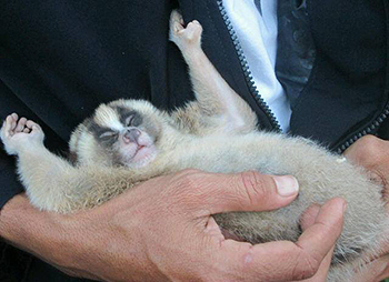 Our friend, the slow loris.
