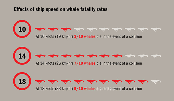 Speed is key as to whether a whale survives a ship strike ©IFAW