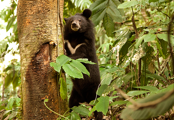 Asiatic black bears are illegally persecuted for their gall bladder, skin and paws.