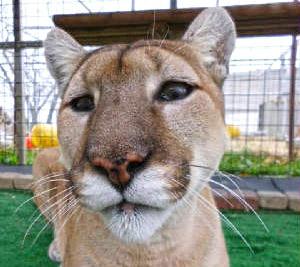 Tasha the cougar.c. The Wildcat Sanctuary