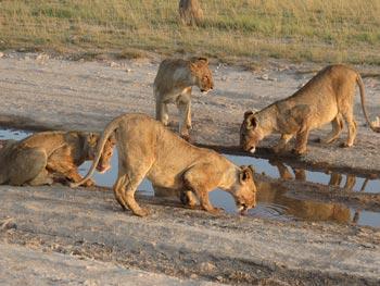 Amboseli: Calm before a storm? c. IFAW/E. Wamba.