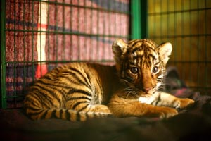 A four week-old orphaned Royal Bengal tiger cub currently under IFAW care in India. © IFAW-WTI/S. Barbaruah