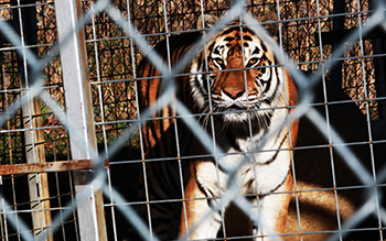 Taz, one of the rescued tigers before loading on the transport to Indiana.