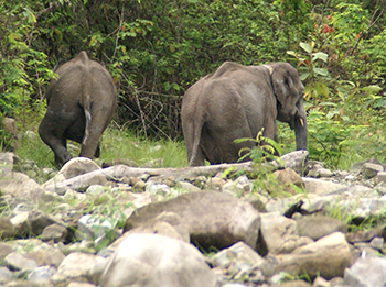 Rehabilitated and tracked: young elephants Tinku and Rupa were sighted in the wild, and displayed wild behaviours!