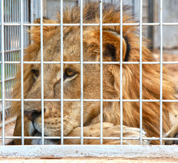A lion now recovering at the Tripoli Zoo in Libya. IFAW/M. Booth