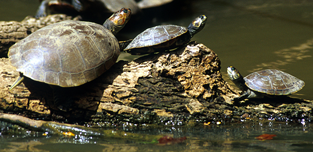 Turtles, like these sunning themselves by a pool of murky water, continue to be trafficking targets. © IFAW/P. Bronstein