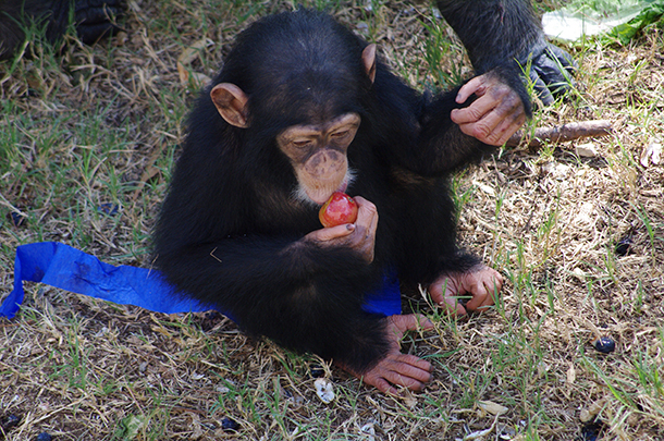 Rescued chimp Valentina Rose enjoys a plum at her home. ©Chimp Haven