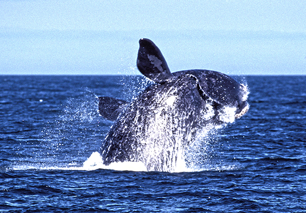Supporters like you have helped save right whales! c. IFAW
