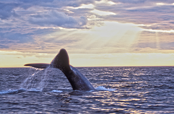 Whale Alert 2.0 is the first national application created to help mariners and whale enthusiasts from sea to shining sea protect and conserve whales.