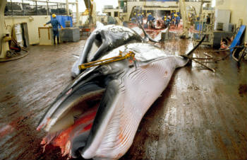 Japan cannot justify its sample sizes for 'scientific whaling' and even whether it needs to kill any whales at all.