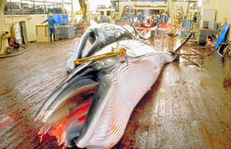 Minke whales waiting to be flensed on the Japanese factory ship Nisshin Maru during a whale hunt in the Southern Ocean Sanctuary. c. IFAW