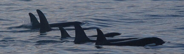 A pod of whales swimming off Iceland. Image courtesy Marc Riley.