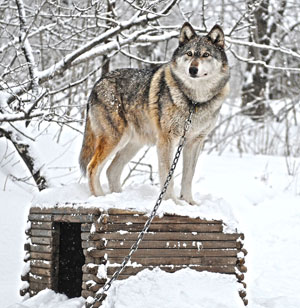 A wolf-dog in Alaska now en route to our friends at LARC in California. IMAGE: c. IFAW/ Stewart Cook