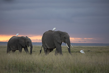 The vast savannah landscape of Amboseli National Park in Kenya, is home to about 1,400 elephants.
